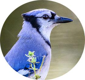 BlueJay-logo